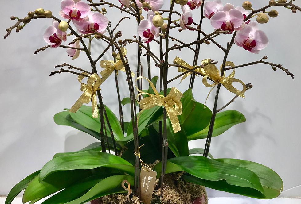 5菖蝴蝶蘭盆
