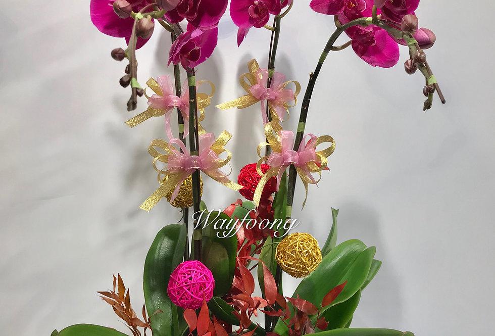 4菖蝴蝶蘭盆