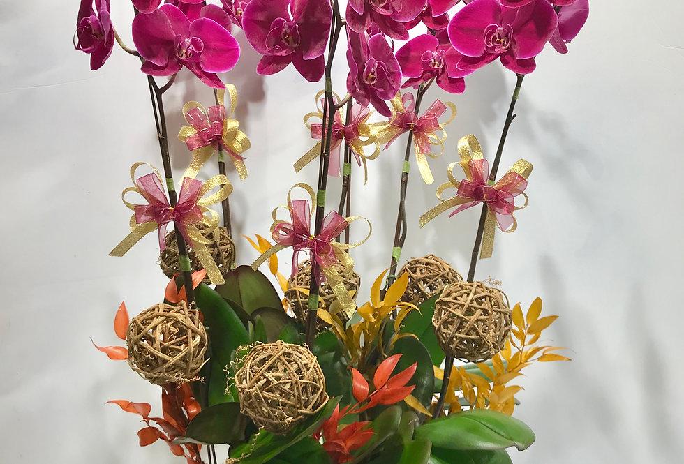 6菖台灣紅花蝴蝶蘭盆