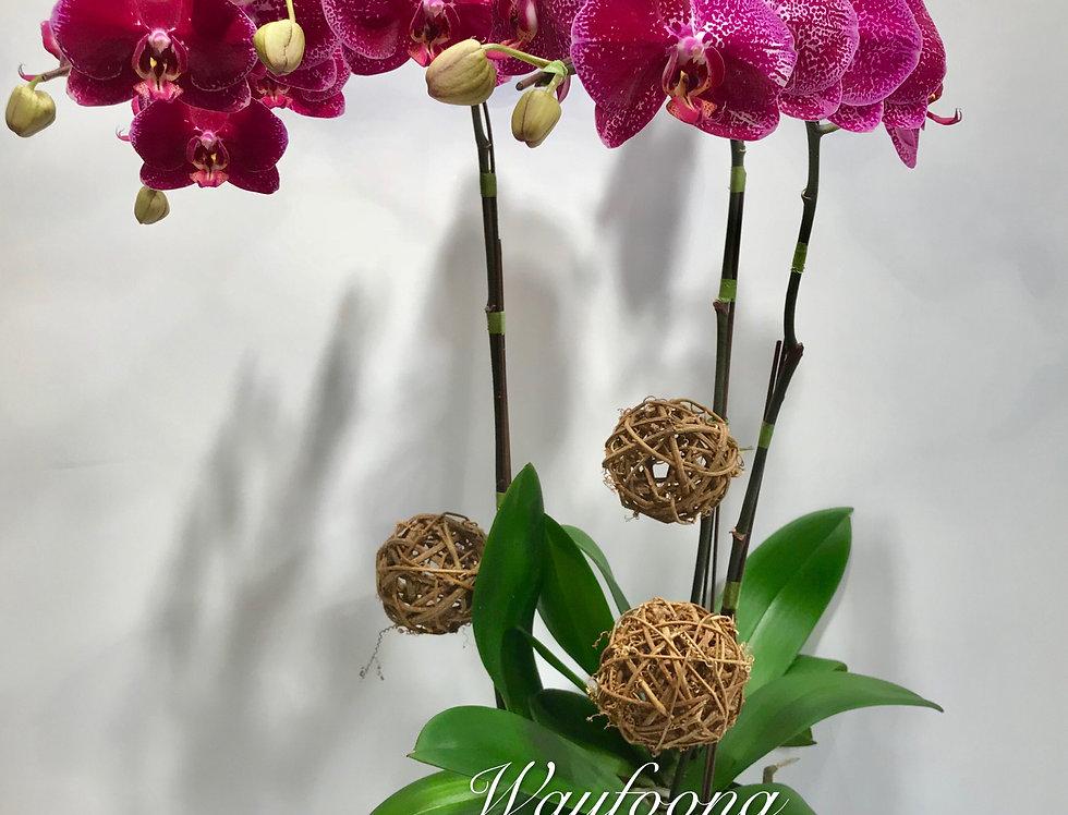 3菖蝴蝶蘭盆
