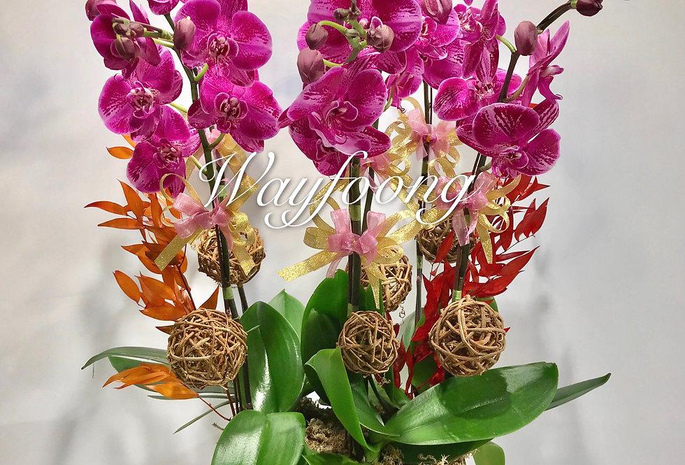 6菖珍珠皇蝴蝶蘭盆