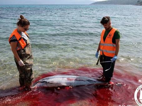 Το Αιγαίο βάφτηκε κόκκινο: Μαζικές οι δολοφονίες θαλάσσιων θηλαστικών στα Δωδεκάνησα