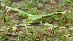 Sapo Frog