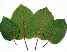 Kratom: Nature's Aid