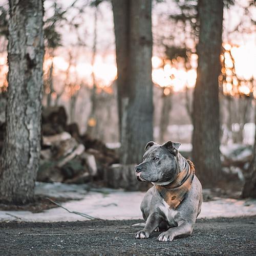 Canine Portraiture