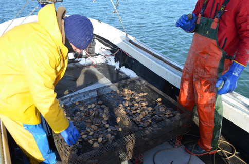 Scallops Being Harvested in Winter