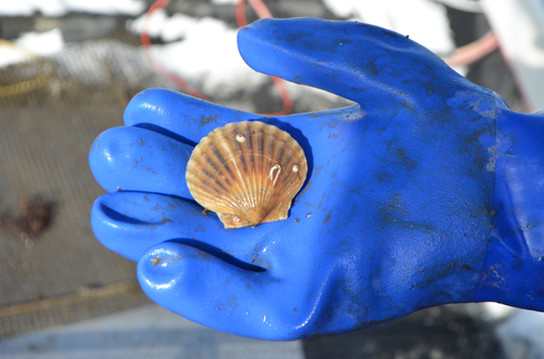 We Are the Exclusive Provider of the Niantic Bay Scallop