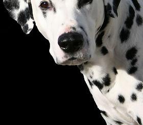 Hattrick Dalmatians Akc Breeder Of Merit