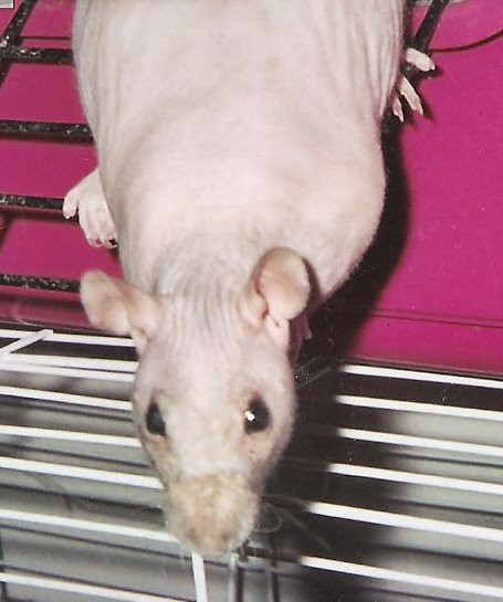 My naked rat! An awesome pet. I hope to