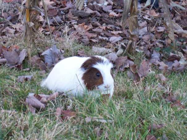 Punky the guinea pig parties like its 19