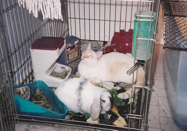 One of my bunnies with Weddo, the cat.jp
