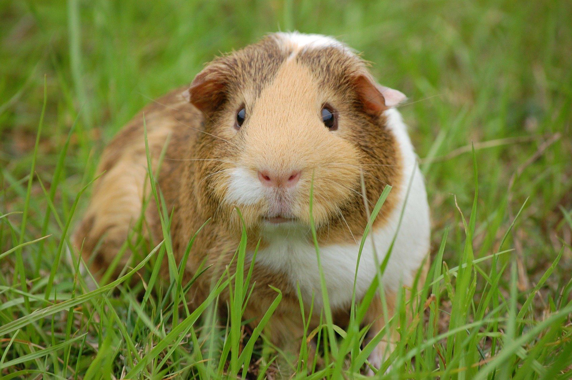 guinea-pig-242520_1920