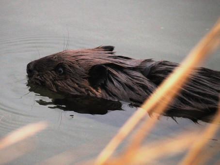 Bringing Back Beaver: Postponing Planting Amid a Pandemic