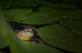 Frog Sitting in a Pond - Ann Kielbasa