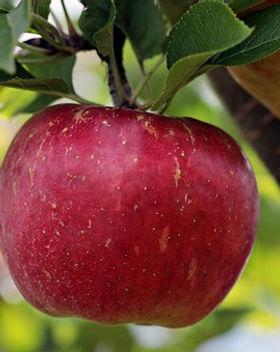 apple-2788616__340.jpg