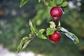 apples-3738771_960_720.jpg