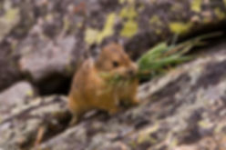 American pika caching food