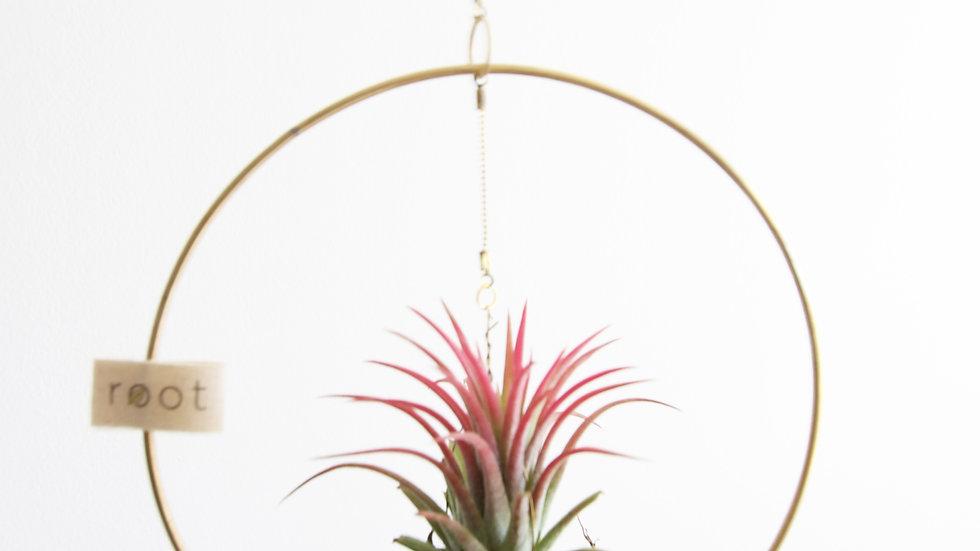 Loop - 15cm - Canlı Bitki
