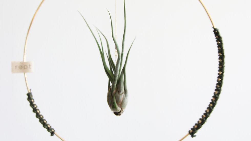 Loop - 25cm - Canlı Bitki