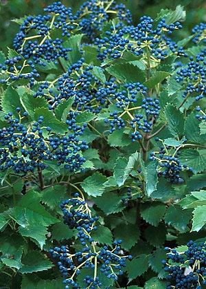 Viburnum Blue Muffin