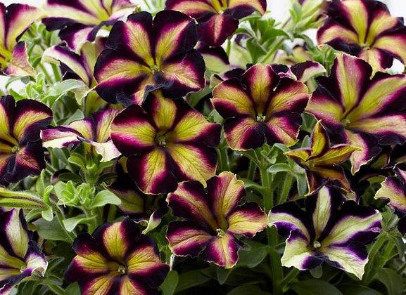 Petunia Crazytunia Pulse