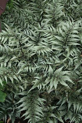 Athyrium niponicum 'Pictum Godzilla' Fern