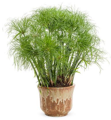 Cyperus Prince Tut