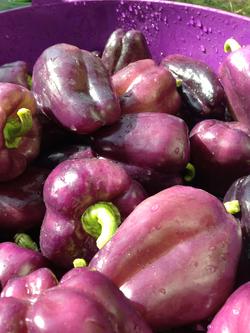 purple pepppers