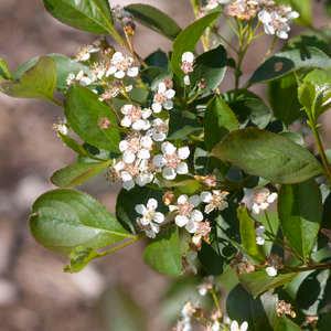 Aronia melanocarpa 'Viking' Chokeberry
