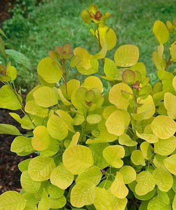 Smoke Bush Chartreuse Foliage