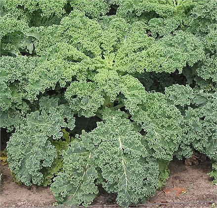 Kale Curly Green