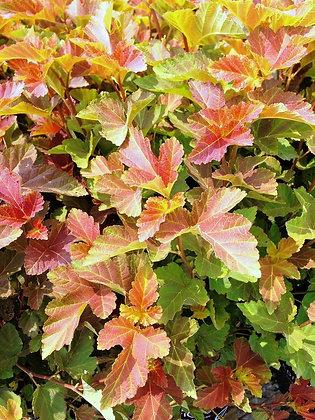Ninebark Autumn Jubilee