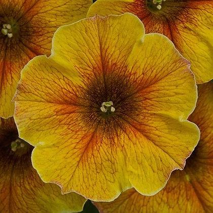 Petchoa SuperCal Carmel Yellow