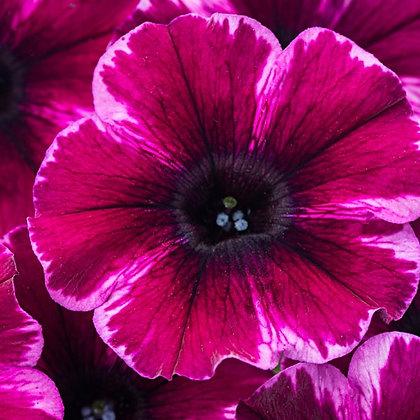 Petunia Crazytunia Ultraviolet
