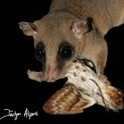 Linnaeus's mouse opossum