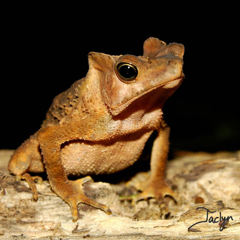 South American common toad