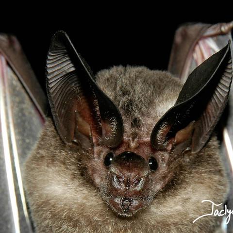 White-throated round-eared bat