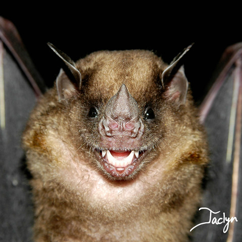 Greater yellow-shouldered bat