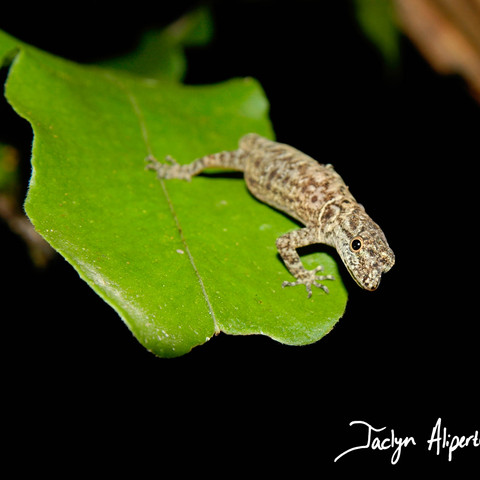 Forest gecko