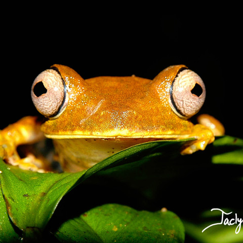 Gunther's banded tree frog
