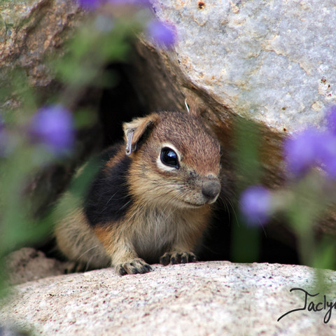 Golden-mantled ground squirrel pup