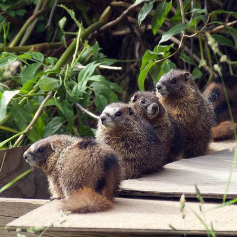 Yellow-bellied marmot pups