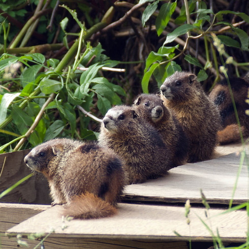 Yellow-bellied marmot pups
