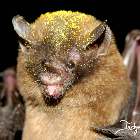 Thomas's nectar bat