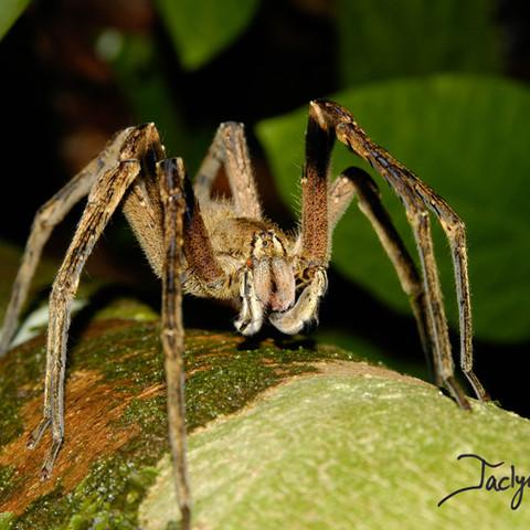 Brazilian wandering spider
