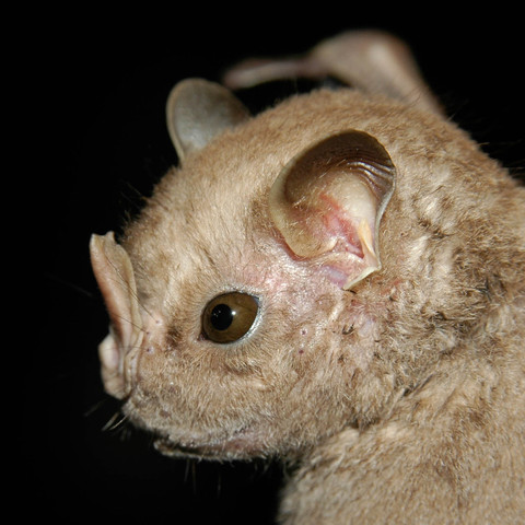 Hairy big-eyed bat