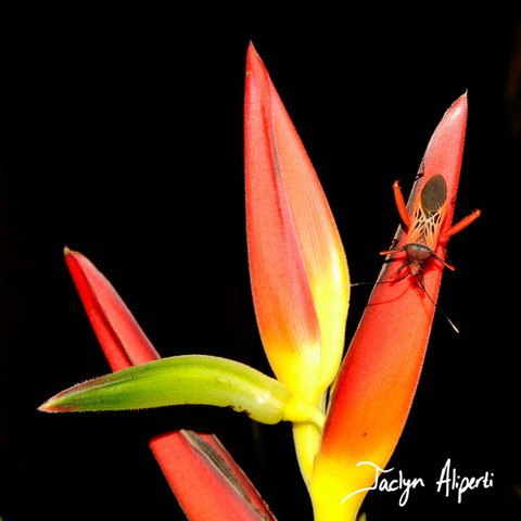 Katydid on Heliconia
