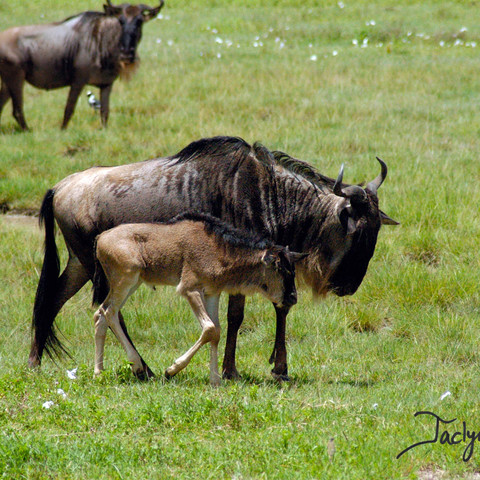 Common wildebeest with calf