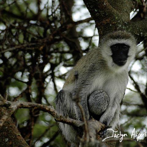 Vervet monkey with infant