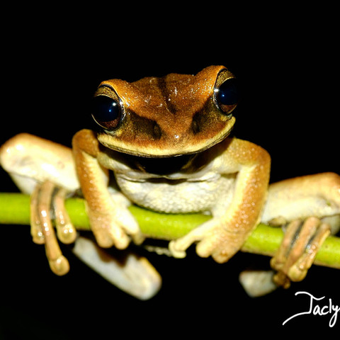Yasuni broad-headed treefrog